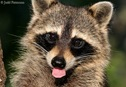 raccoon_5916